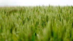 Zone de blé verte Photographie stock libre de droits
