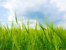 Zone de blé verte. Photos libres de droits