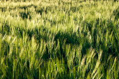 Zone de blé verte Image stock