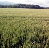 Zone de blé verte Photo stock