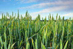 Zone de blé verte de source Image libre de droits