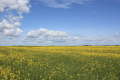 Zone de Canola Photo stock