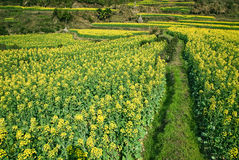 Zone de Canola photographie stock