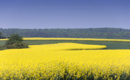 Zone de Canola Photo libre de droits