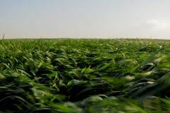 Zone de collectes vertes soufflée par le vent images libres de droits