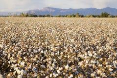 Zone de coton Photos libres de droits