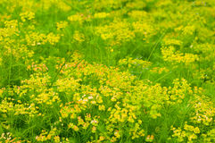 Zone de fleur jaune Photo stock