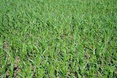 Zone de l'élevage de maïs Image libre de droits