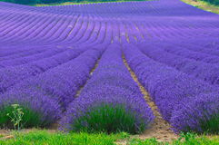 Zone de Lavander Photo stock