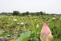 Zone de lotus photographie stock libre de droits