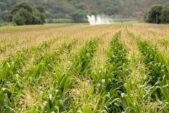 Zone de maïs à l'été Photos libres de droits