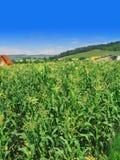 Zone de maïs Photos stock