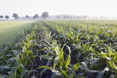 Zone de maïs photo libre de droits