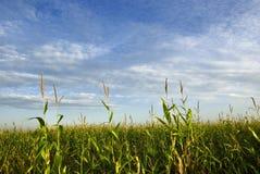 Zone de maïs image stock