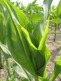 Zone de maïs - 2 Photographie stock libre de droits