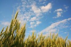 Zone de maïs 2 Photos stock