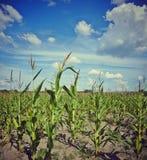 Zone de maïs Images libres de droits