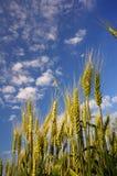 Zone de maïs 6 Photographie stock libre de droits
