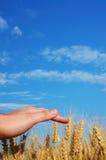 Zone de maïs 9 Image libre de droits