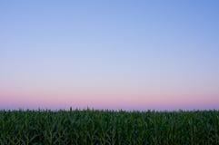 Zone de maïs au crépuscule Photographie stock libre de droits