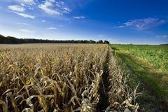 Zone de maïs au temps de moisson Photos libres de droits
