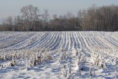 Zone de maïs de l'hiver après moisson Photo stock
