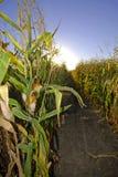 Zone de maïs de moisson Photos libres de droits