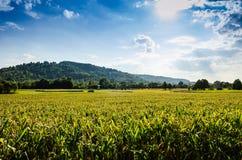 Zone de maïs ensoleillée Photographie stock