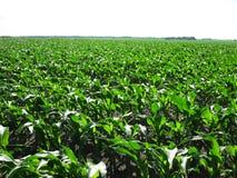 Zone de maïs grandissante Image libre de droits
