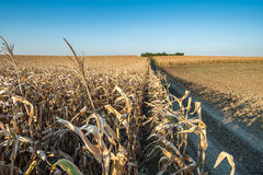 Zone de maïs mûre Photographie stock
