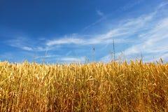 Zone de maïs par jour d'été Photographie stock libre de droits