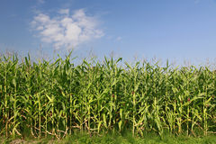 Zone de maïs sous le ciel bleu avec des nuages Images stock