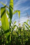 Zone de maïs Sunlit Images libres de droits