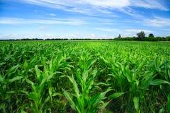 Zone de maïs vert Images libres de droits
