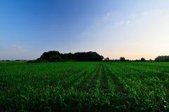 Zone de maïs vert Image stock