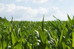 Zone de maïs vert Photographie stock libre de droits