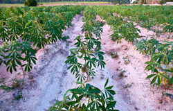 Zone de manioc Image libre de droits