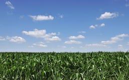 Zone de maïs Images stock