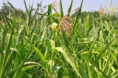 Zone de maïs vert Photo stock