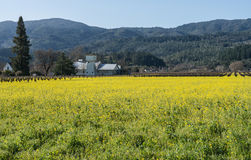 Zone de moutarde dans Napa Valley Photo stock