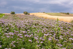 Zone de Phacelia Photo stock