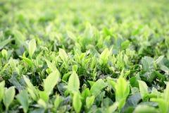 Zone de plantation de thé photographie stock