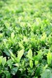 Zone de plantation de thé photo libre de droits