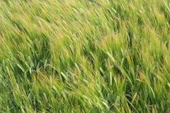 Zone de Rye dans le vent Photo libre de droits