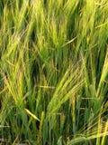 Zone de Rye de plan rapproché Image libre de droits