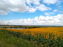 Zone de Sunflowers Photo stock