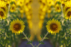 Zone de Sunflowers Images stock