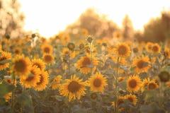 Zone de Sunflowers Image libre de droits