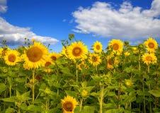 Zone de Sunflowers Image stock