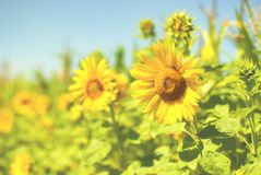Zone de Sunflowers Fermez-vous du tournesol contre un champ en Europe photo stock